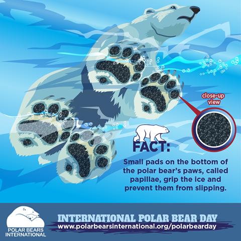 Polar bear fact