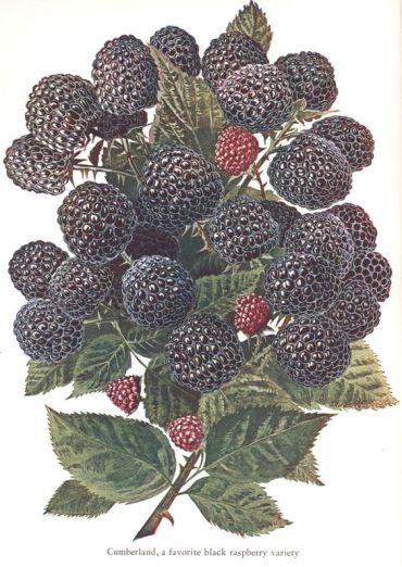 Black Raspberry botancial.jpg